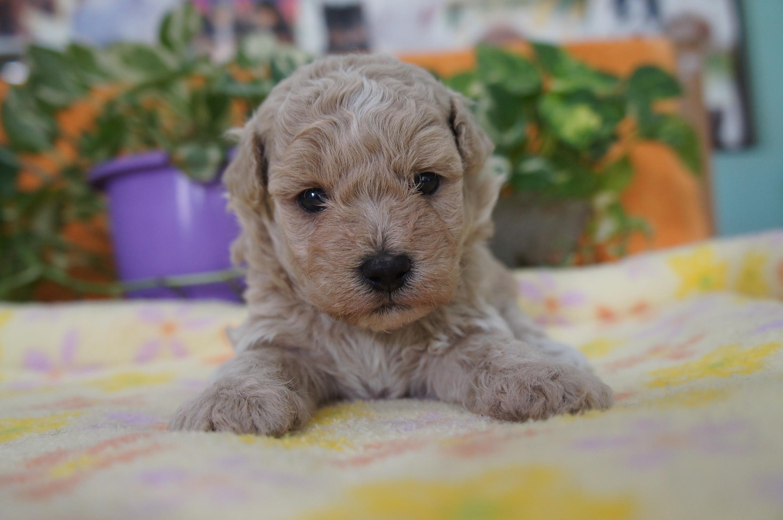 10月22日 ミックス犬(父マルチーズ×母トイプードル)子犬販売